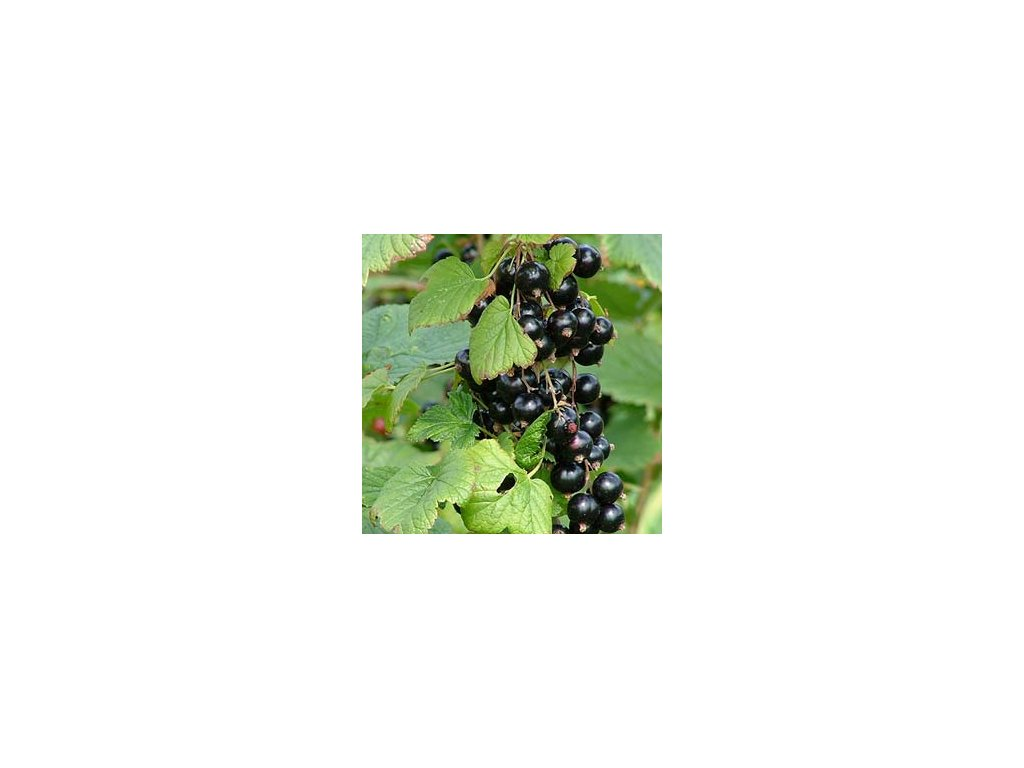 Ribes nigrum  - Černý rybíz