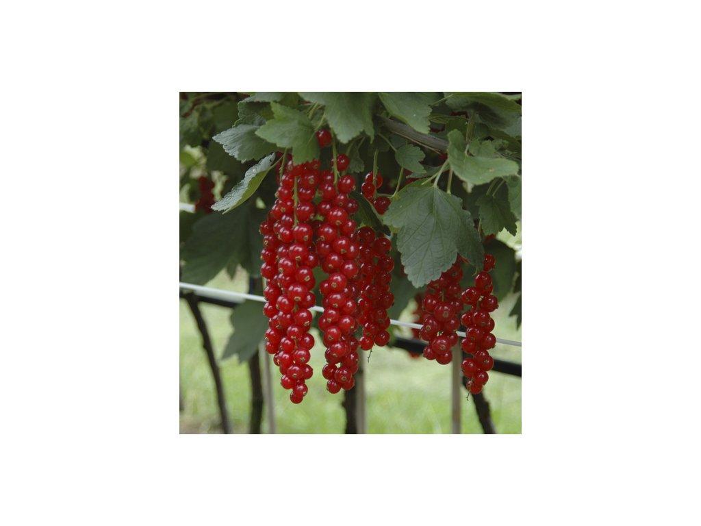 Ribes rubrum - Červený rybíz