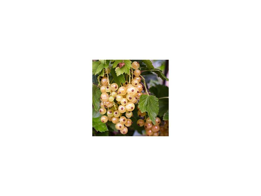Ribes rubrum Weisse Versailles - Bílý rybíz