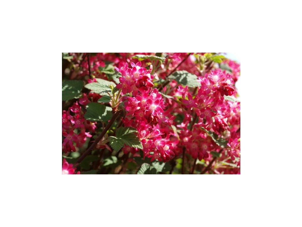 Ribes sanquineum King Edvard VII - Meruzalka