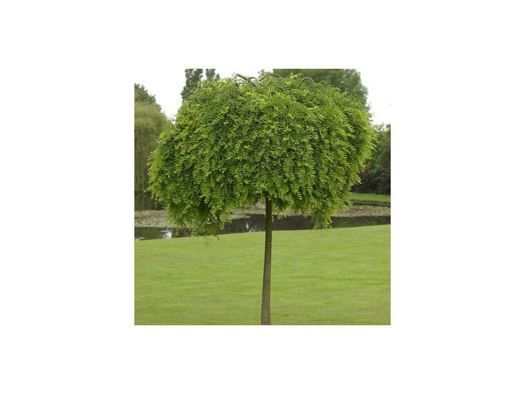 Sophora japonica Pendula - Jerlín převislý