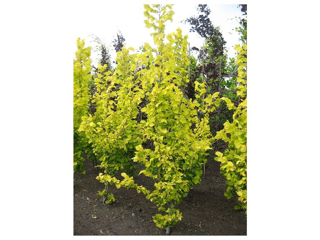 Ulmus hollandica Wreddei - Jilm, žlutý list