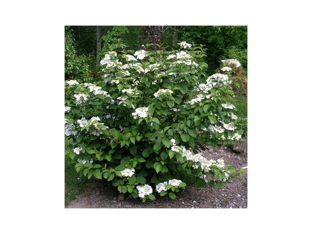 Viburnum plicatum Watanabe - Kalina