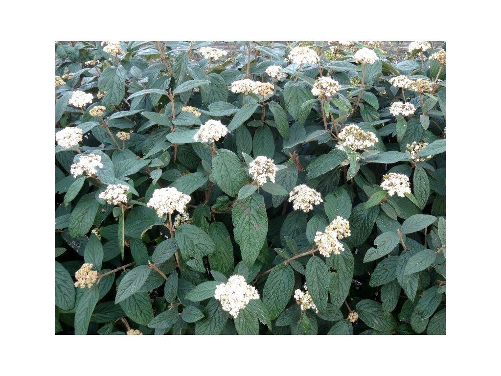 Viburnum rhytidophyllum - Kalina stálezelená