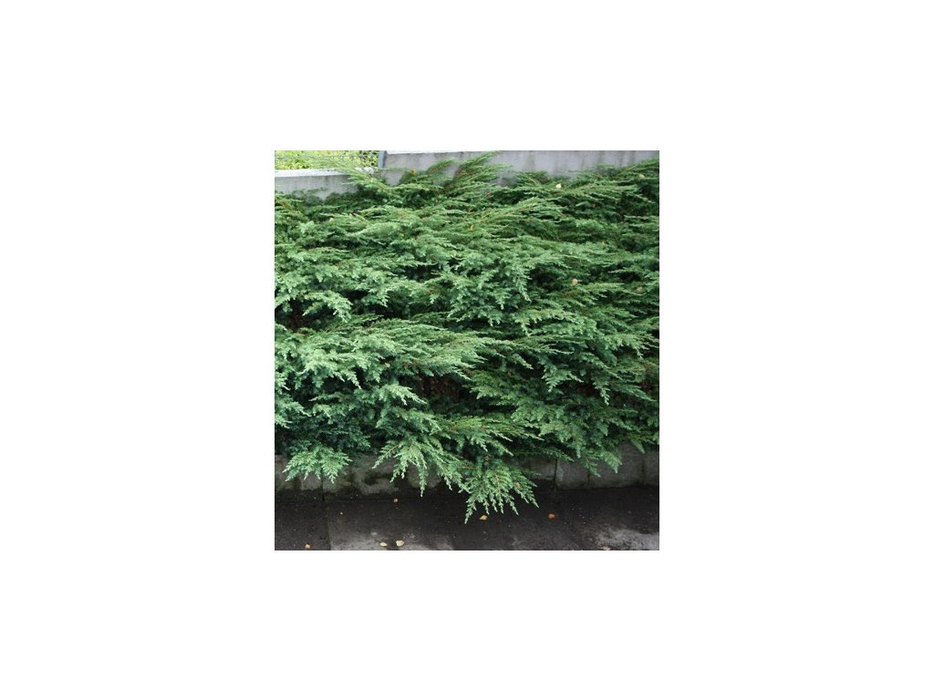 Juniperus communis Repandens - Jalovec