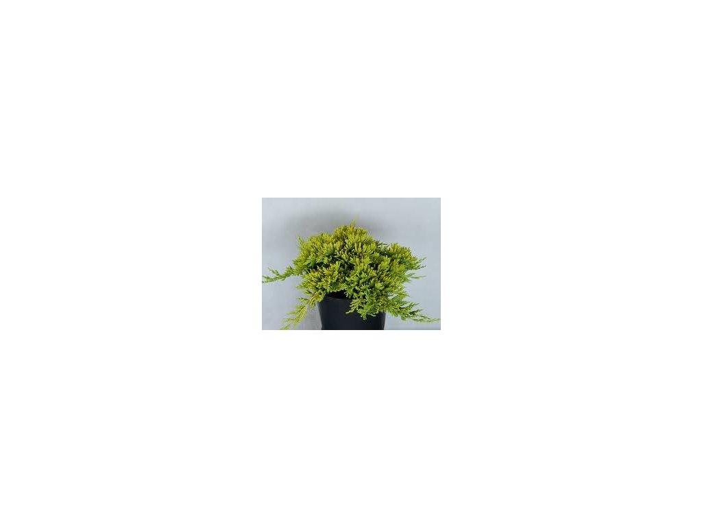Juniperus horizontalis Golden Carpet - Jalovec žlutý list, zakrský