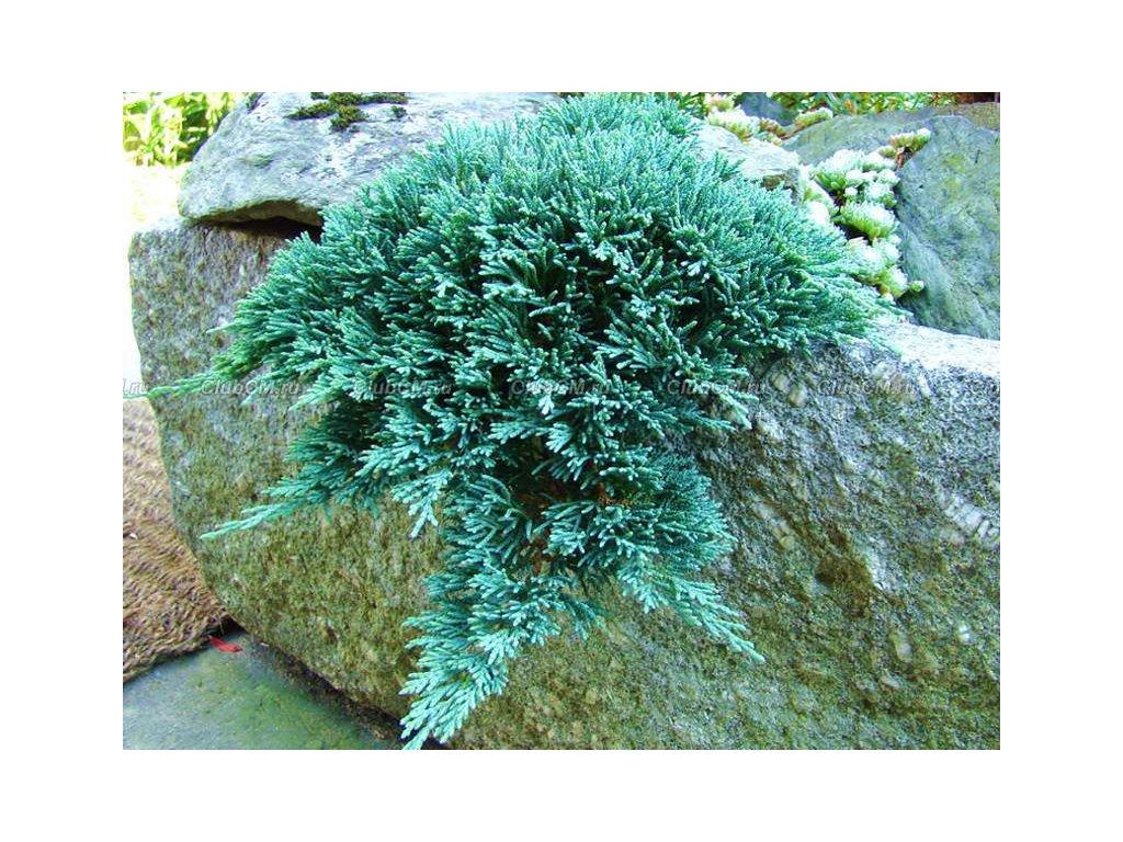 Juniperus horizontalis Icee Blue - Jalovec, stříbrný list