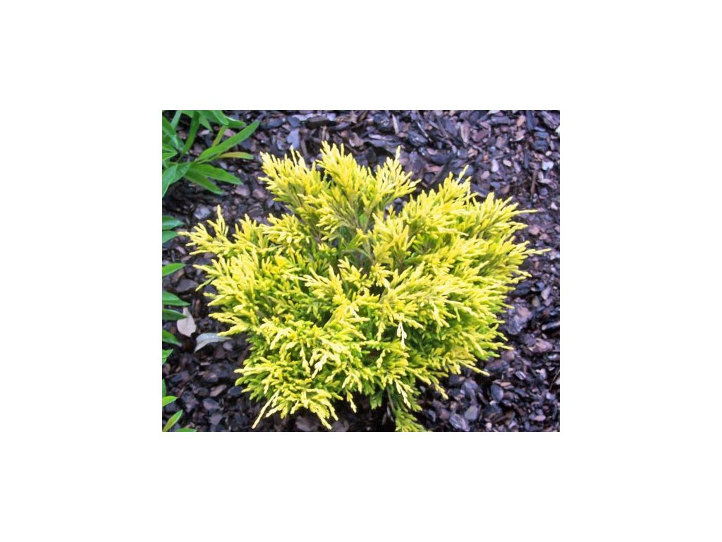 Juniperus horizontalis Lime Glow - Jalovec