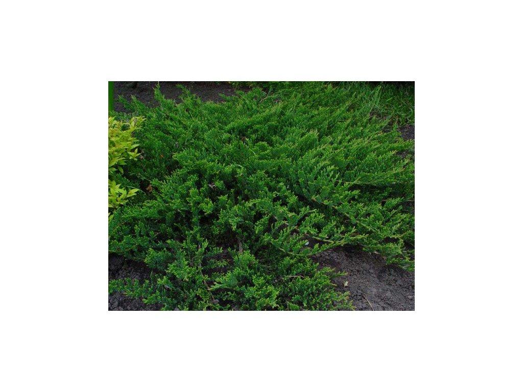 Juniperus horizontalis Prince of Wales - Jalovec
