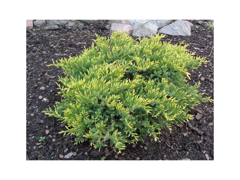 Juniperus squamata Holger - Jalovec
