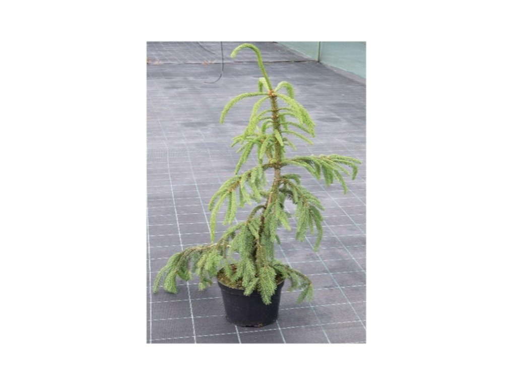 Picea abies Inversa - Smrk
