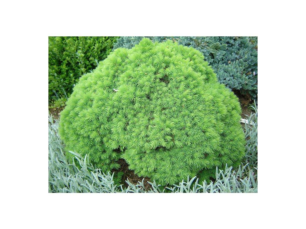Picea glauca Alberta Globe - Smrk do skalek