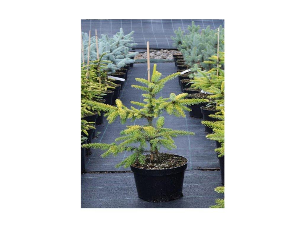 Picea omorika Aurea - Smrk, žlutý list
