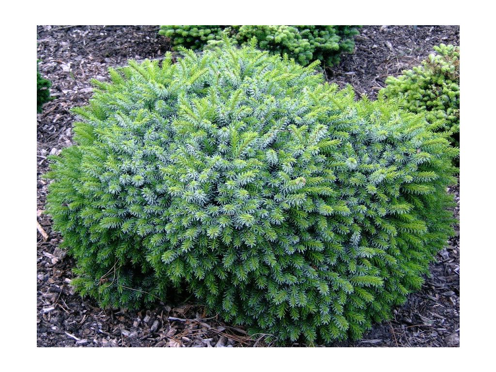 Picea omorika Nana - Smrk zakrslý na kmínku