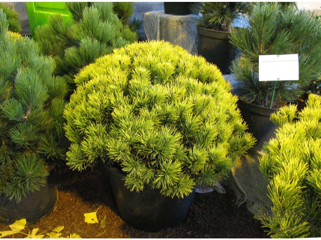 Pinus mugo Carsten´s Wintergold - Borovice, žlutý list