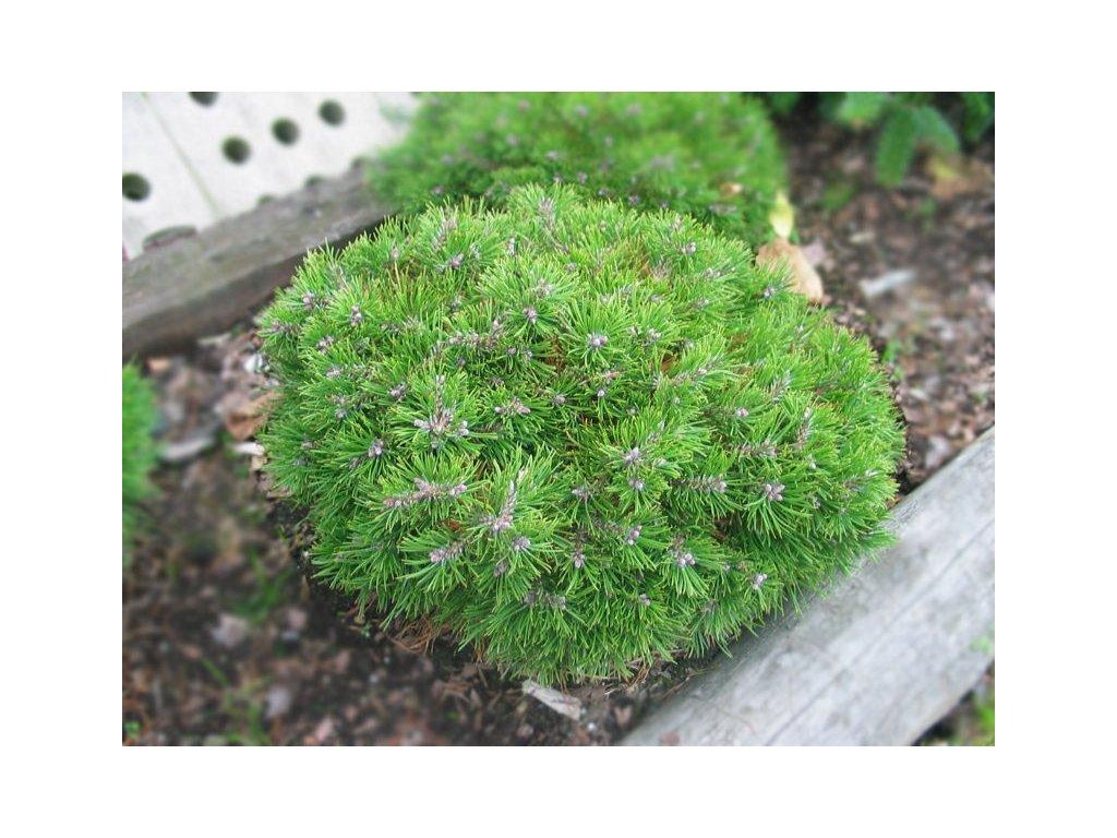 Pinus mugo Grune Welle - Borovice zakrslá