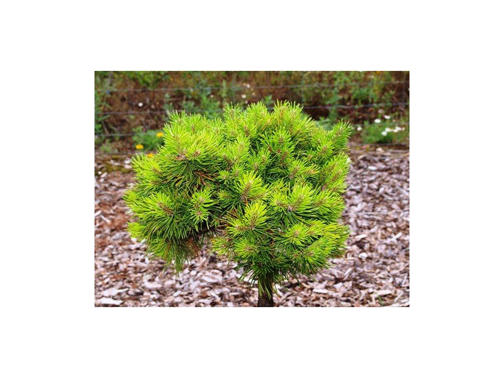 Pinus mugo Grune Welle - Borovice zakrslá, kmínek