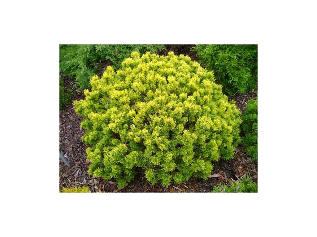 Pinus mugo Ophir - Borovice zakrslá, žlutý list