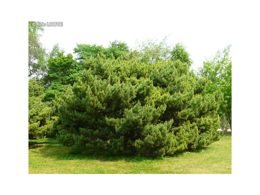 Pinus sylvestris Watereri - Borovice