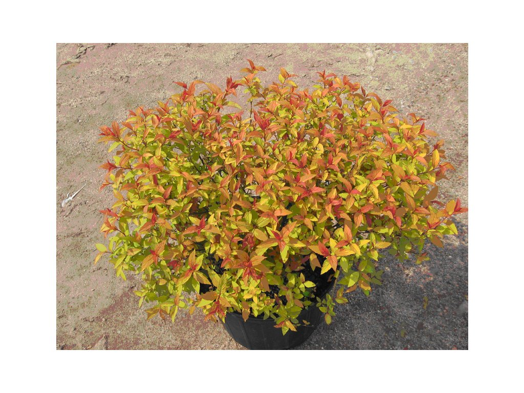 Spiraea japonica Gold flame - Nízký žlutolistý tavolník