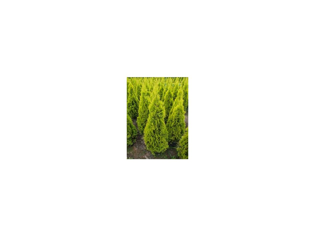Thuja occidentalis Golden Smaragd - Zerav, žlutý list