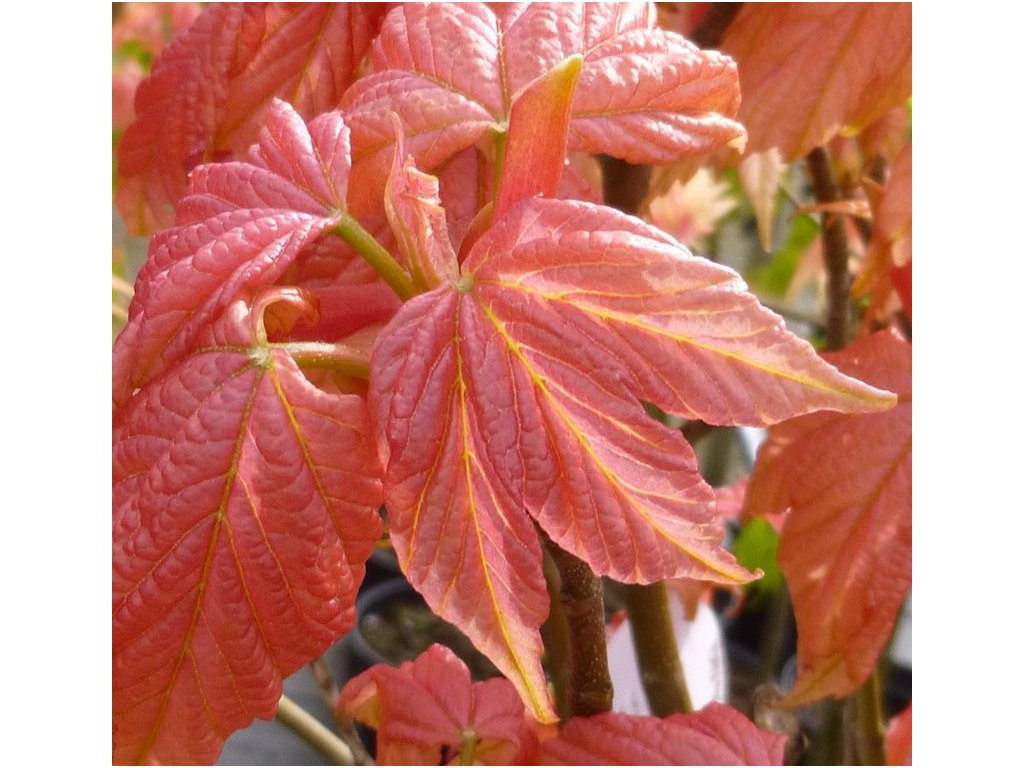 Acer pseudoplatanus Briliantissimum - javor
