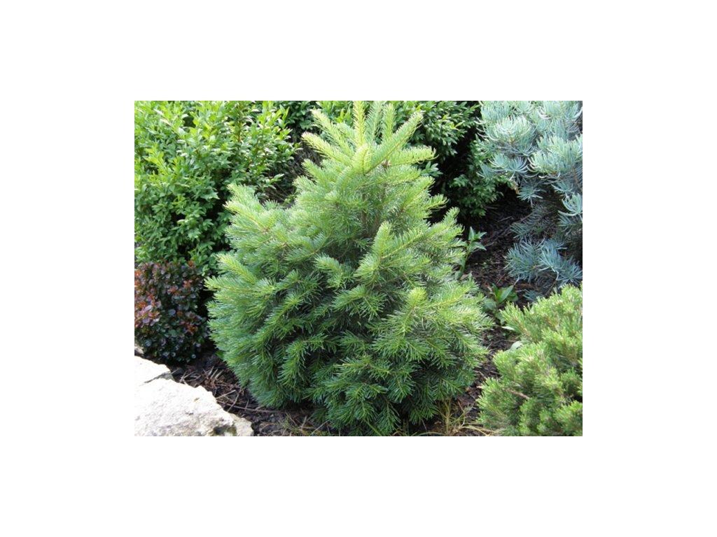 Abies lasiocarpa Green Globe - Jedle kulovitá