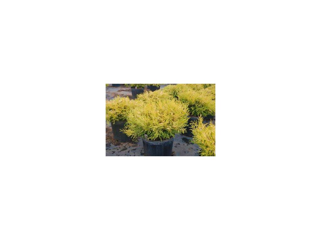 Chamaecyparis pisifera Golden Mop - Cypřišek žlutolistý, zakrslý