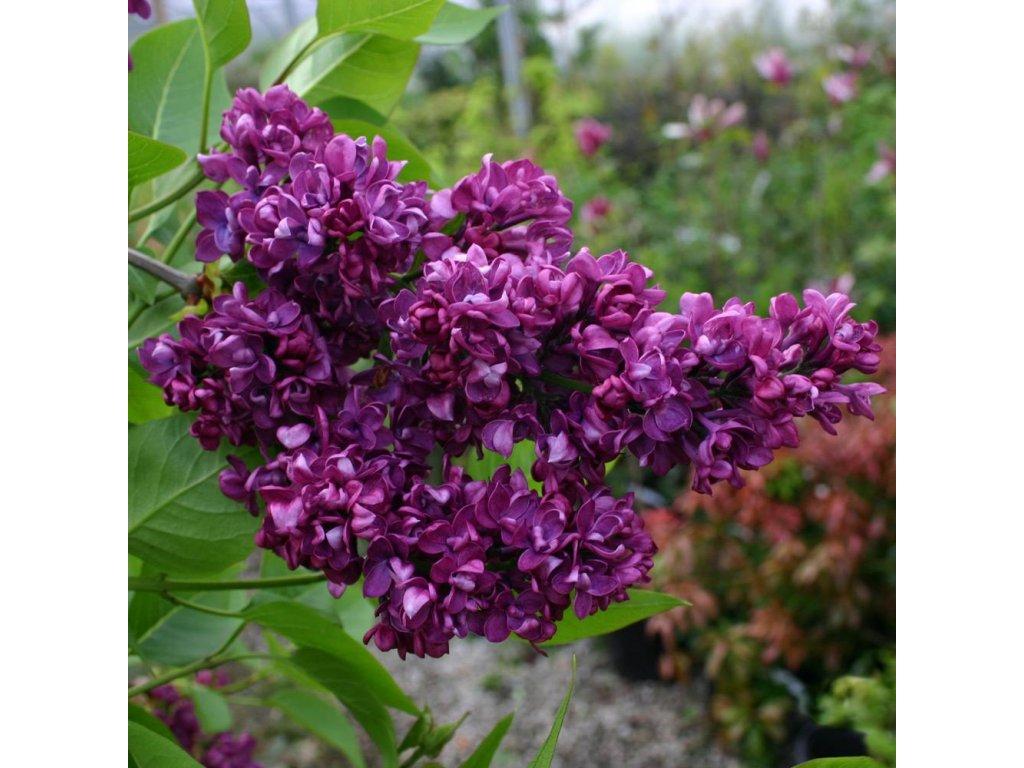 Syringa vulgaris Charles Joly - Šeřík - fialový květ