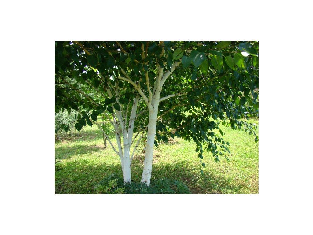 Betula utilis jacquemontii - bříza s bílou kůrou