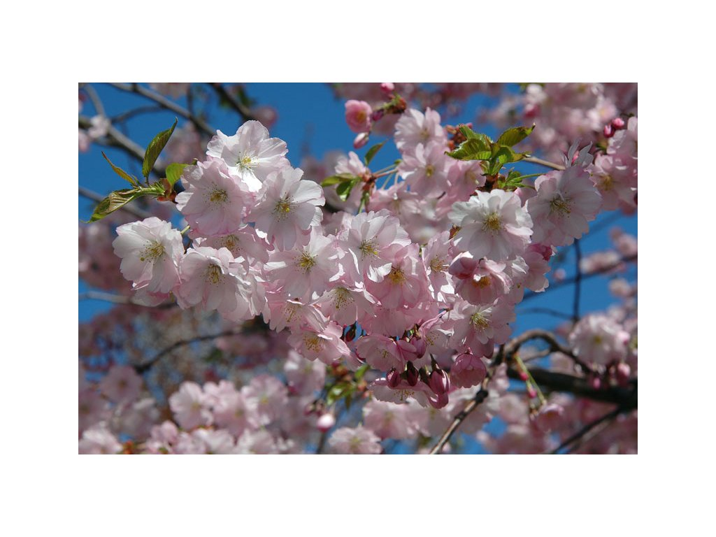 Prunus Accolade - okrasná třešeň