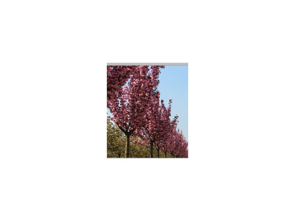 Prunus serrulata Royal Burgundy - okrasná třešeň, červenolistá