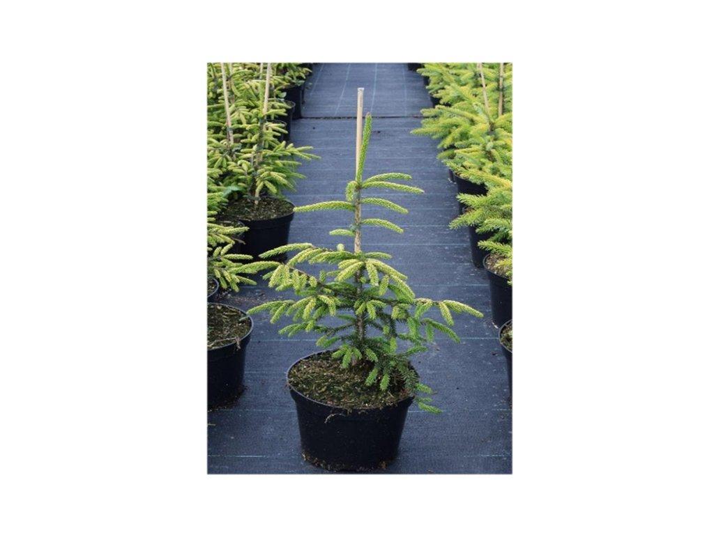 Picea orientalis Aurea - Žlutý smrk