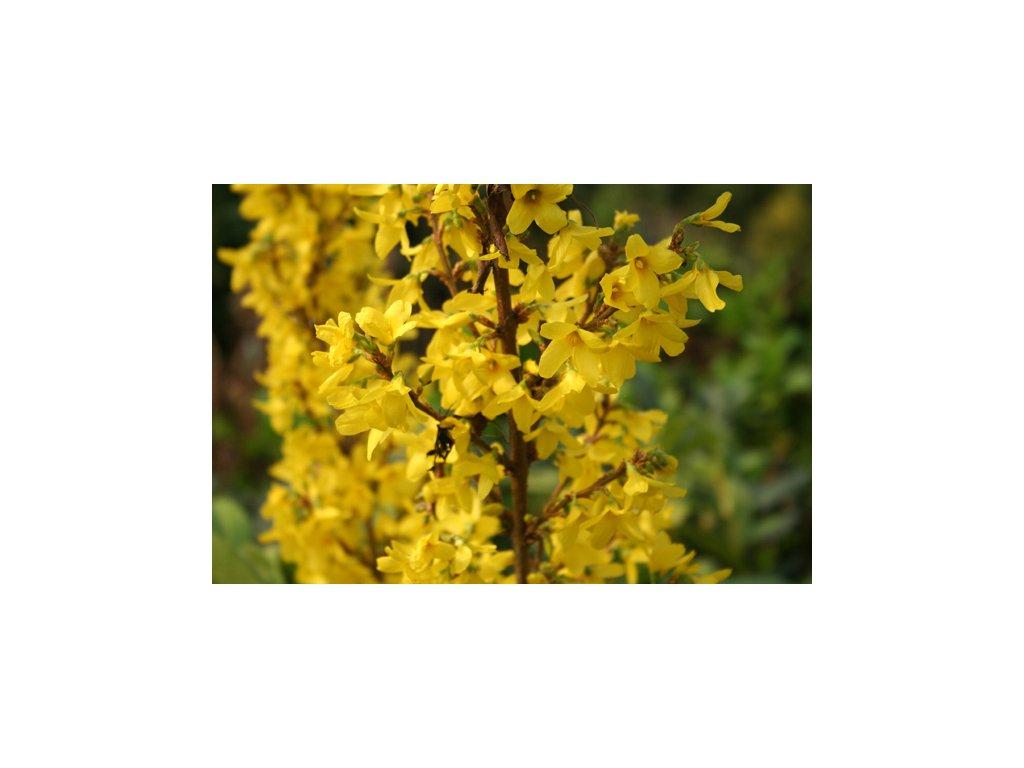 Forsythia intermedia Minigold - zlatice
