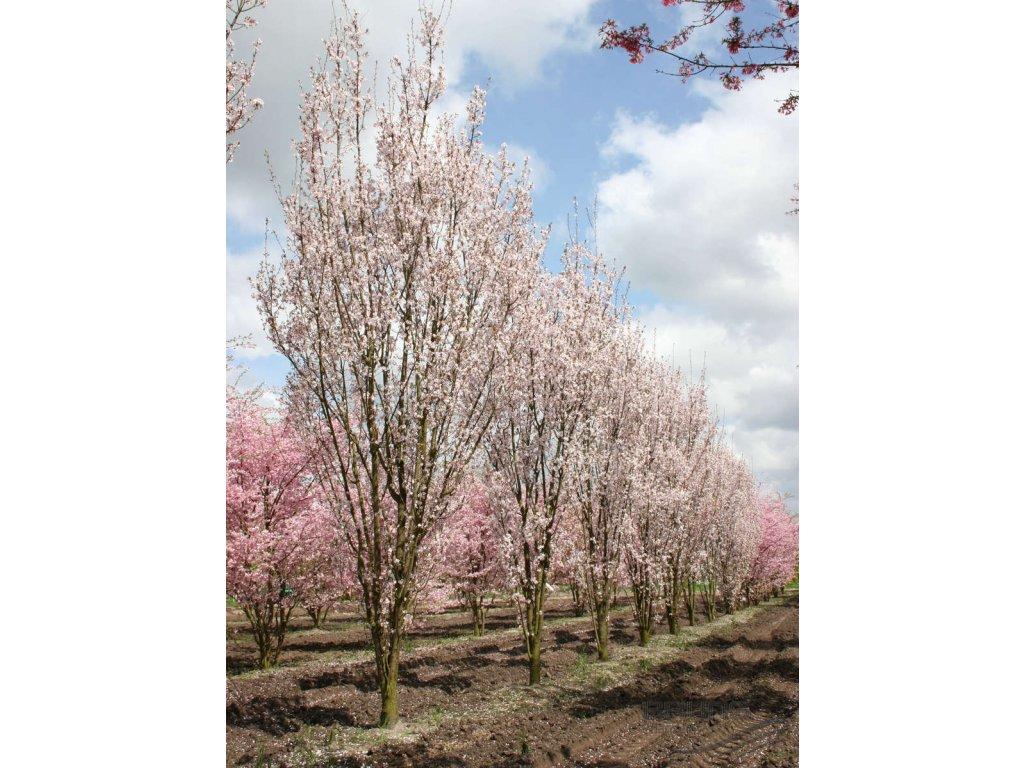 Prunus hillieri Spire - Okrasná třešeň