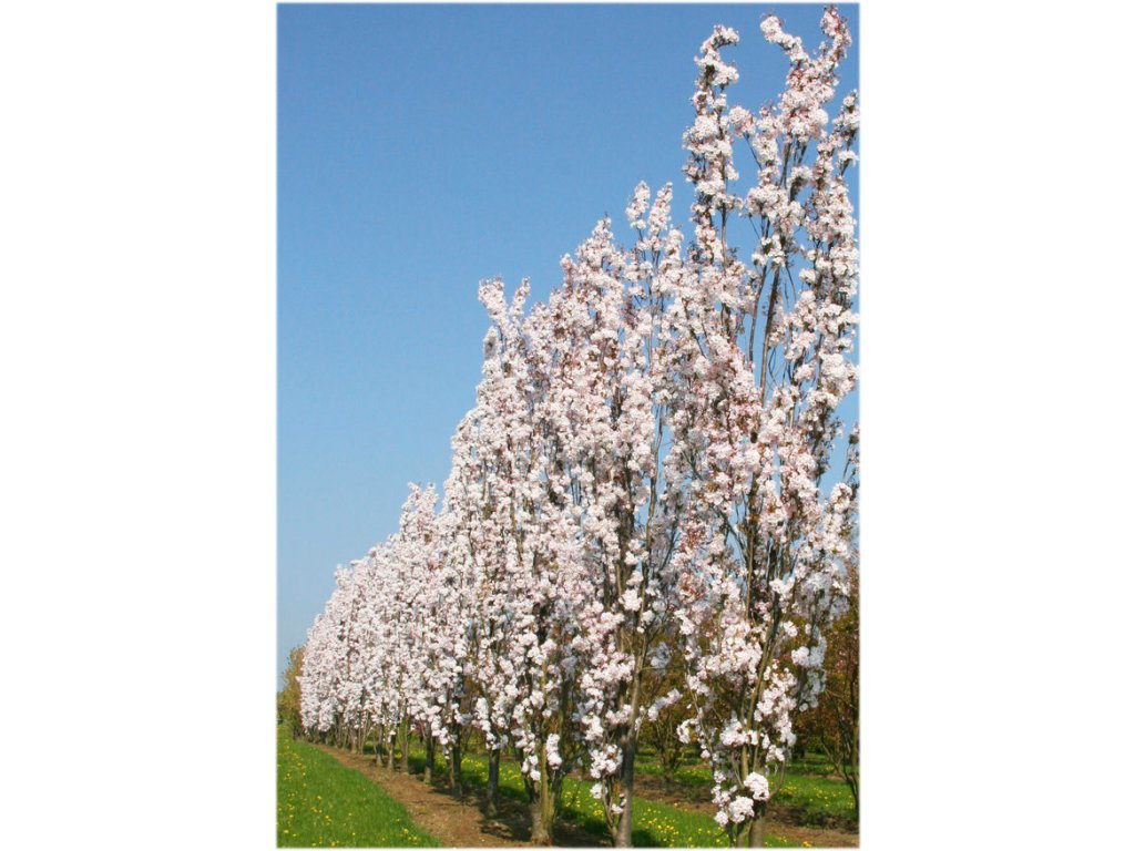 Prunus serrulata Amanogawa - Sloupovitá sakura
