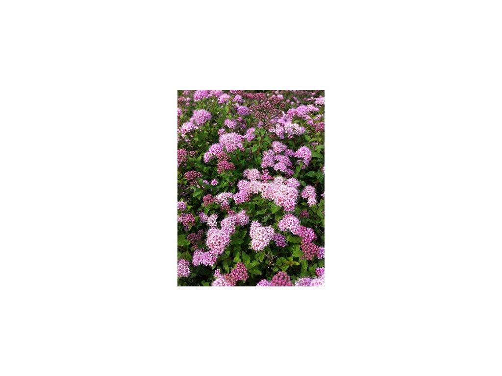 Spiraea japonica Nana - Zakrslý tavolník