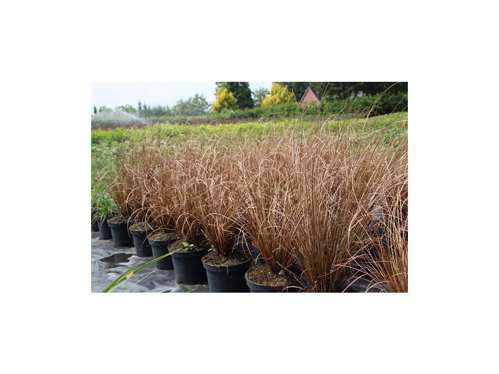 Carex comans Bronze - Ostřice