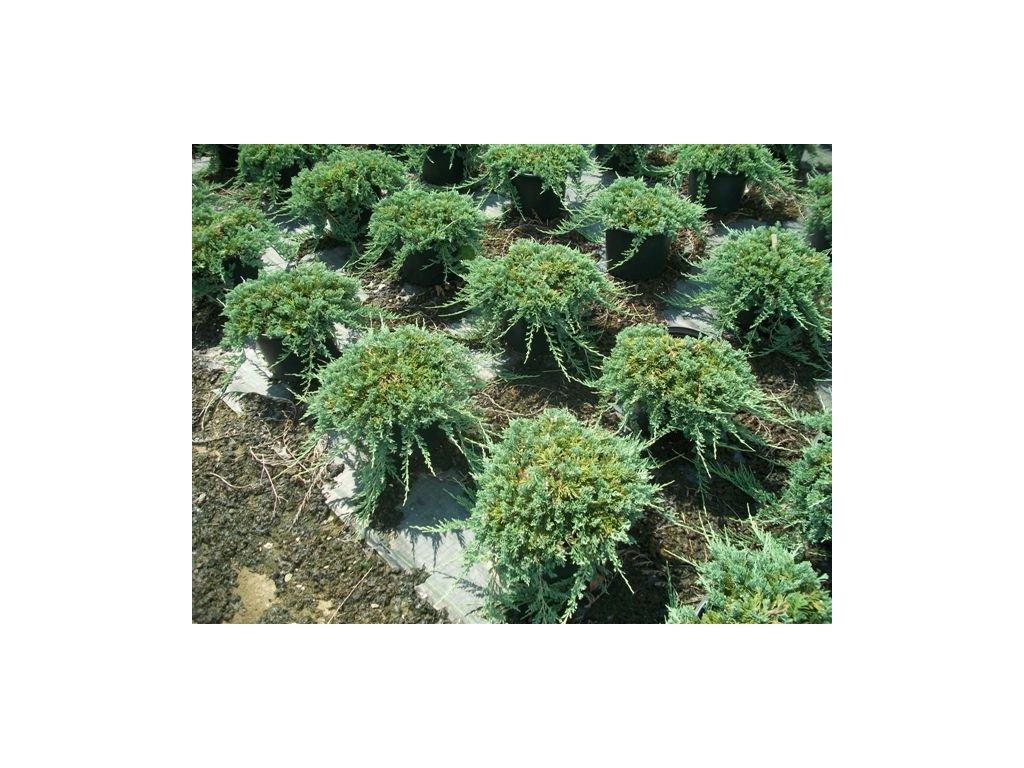 Juniperus horizontalis Wiltonii - jalovec