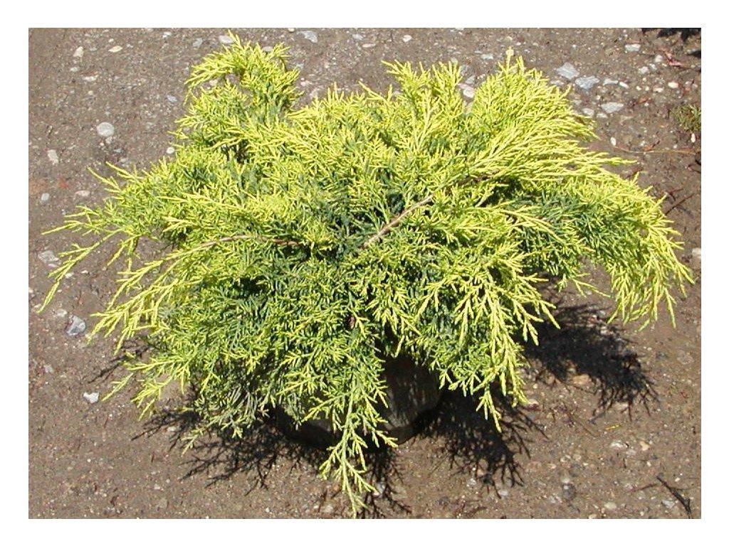 Juniperus x pfitzeriana Old Gold - jalovec žlutolistý