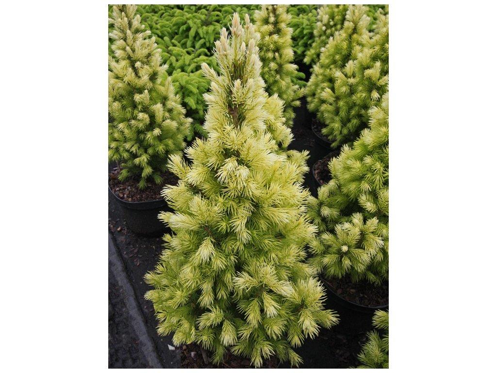 Picea glauca Biesenthaler Fruhling - kónický smrk