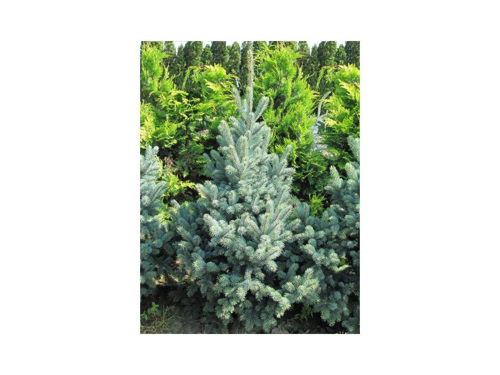 Picea pungens Retroflexa - smrk pichlavý