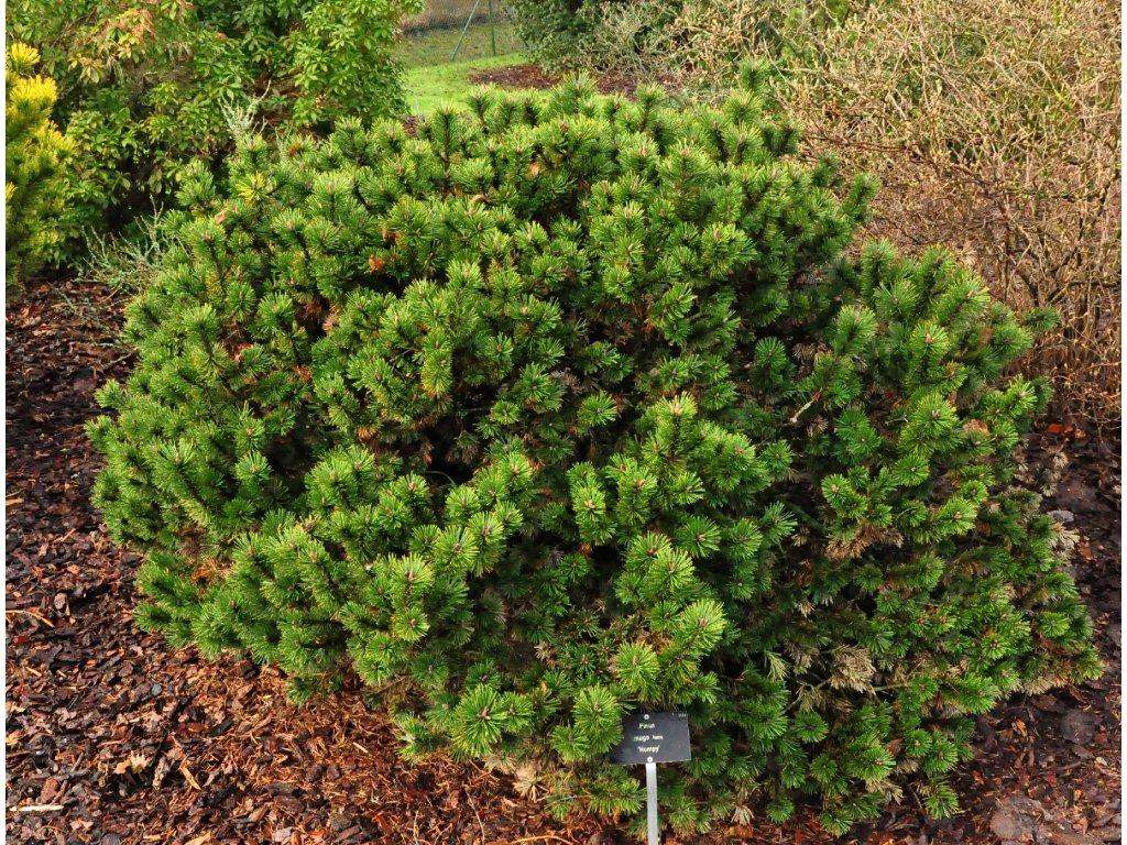 Pinus mugo Humpy - Borovice kleč