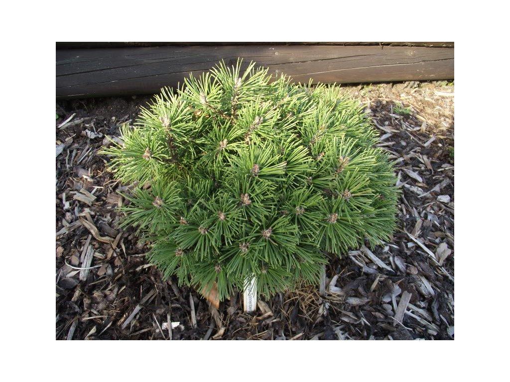 Pinus mugo Sonnenberg - Borovice kleč