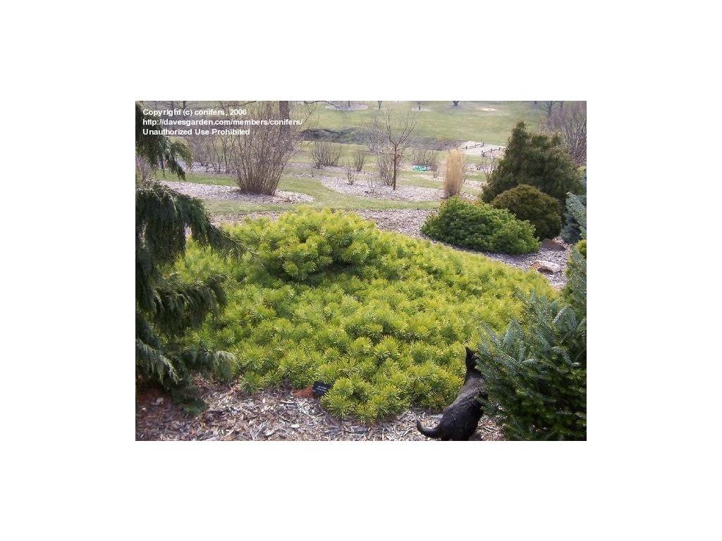 Pinus sylvestris Hillside Crepper - půdopokryvná borovice