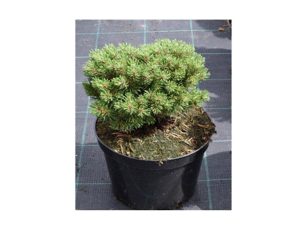 Pinus uncinata - Borovice