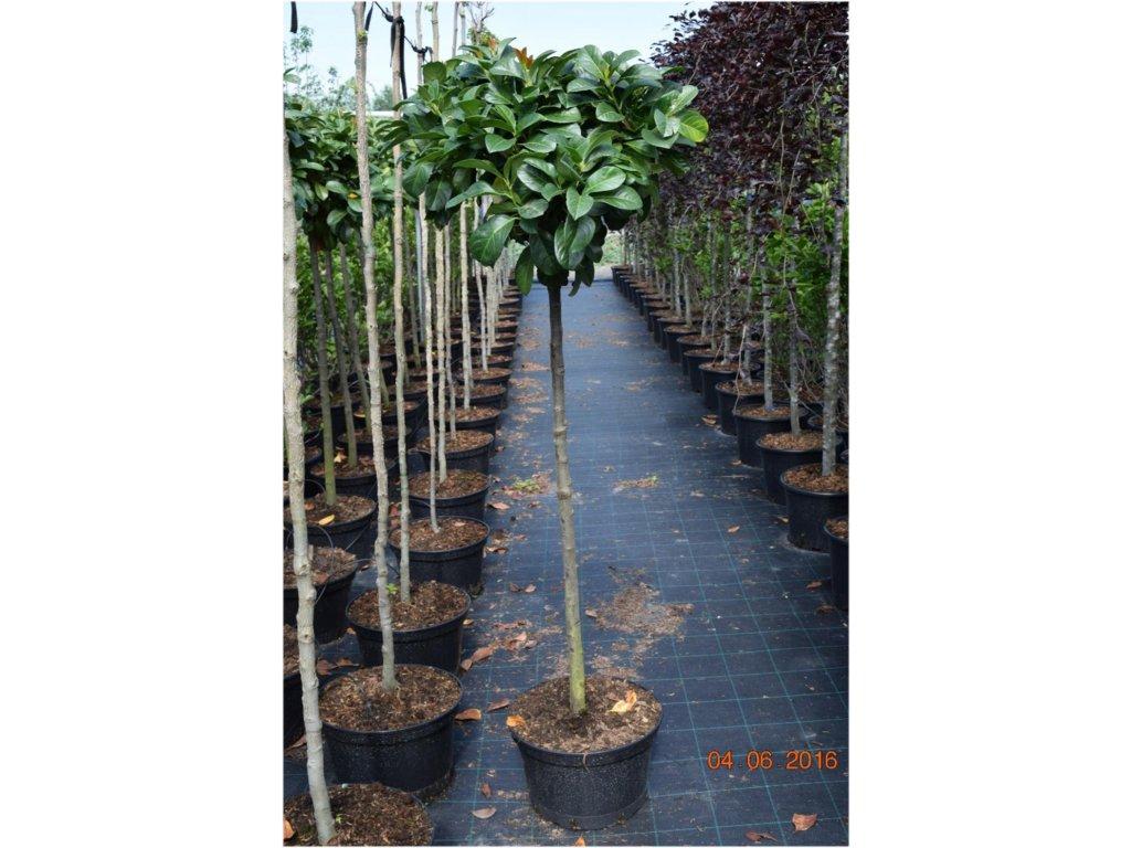 Prunus laurocerasus Etna - Bobkovišeň na kmínku