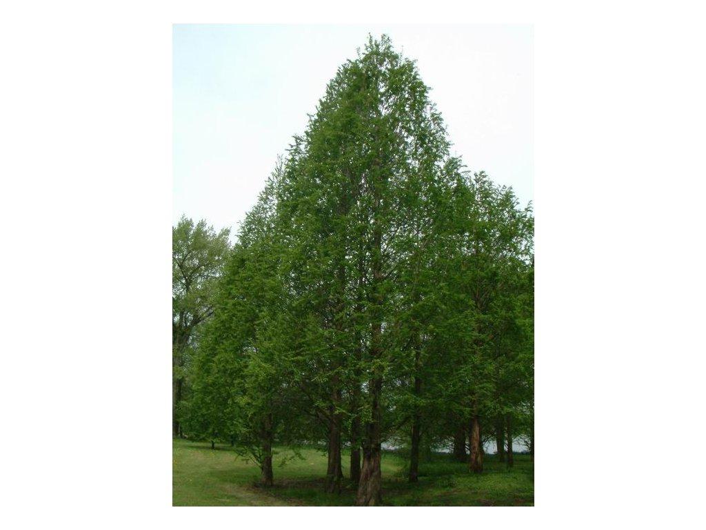 Metasequoia glyptostroboides - Metasekvoj