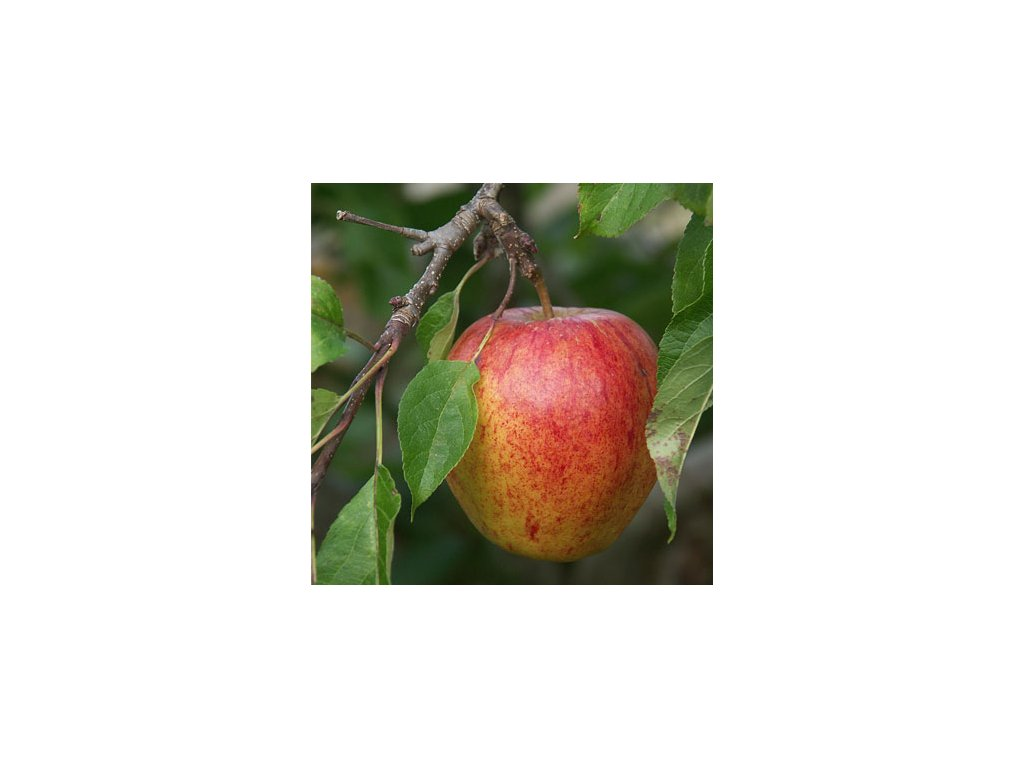 Malus domestica Cox's Orange - jabloň