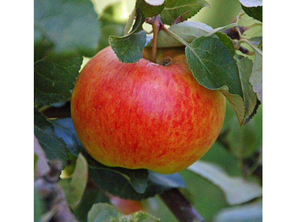 Malus domestica James Grieve - jabloň